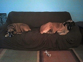 Dogs resting on the couch.