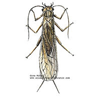 Stonefly illustration .jpg