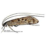 Caddifly Illustration.jpg