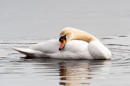 22116-Swans-Auburndale-Park-5.jpg