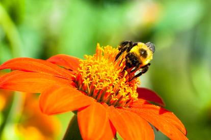 Macro Bumble Bee
