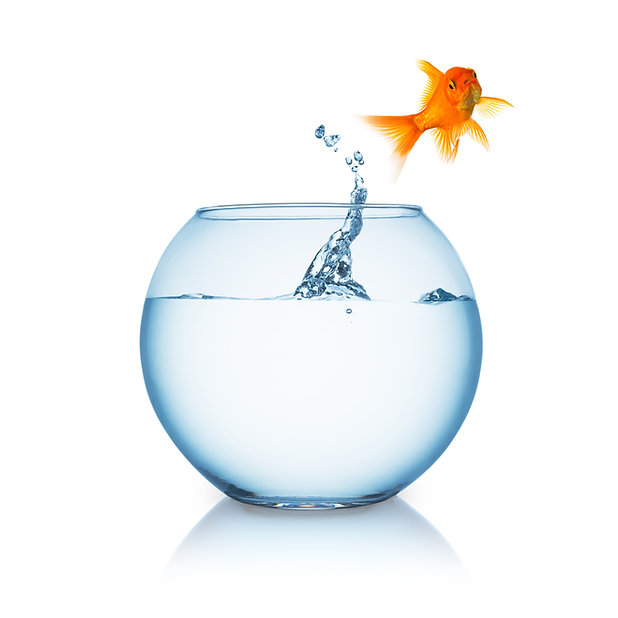 goldfish jumps out of a fishbowl isolate