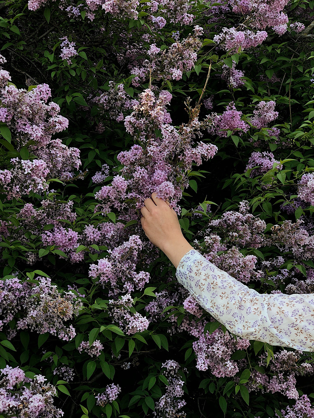 hand picking lilacs