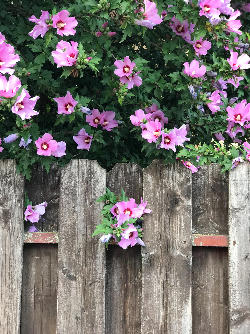 wooden fence with purple flowers