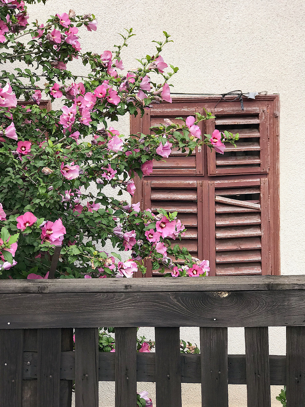 rustic fence, window and purple flowers