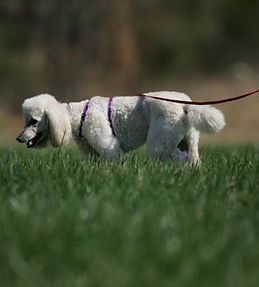 tracking poodle Harness.jpg