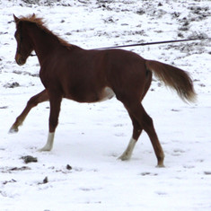 Mia trotting in the snow