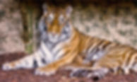 Image of Tiger at Highland Wildlife park