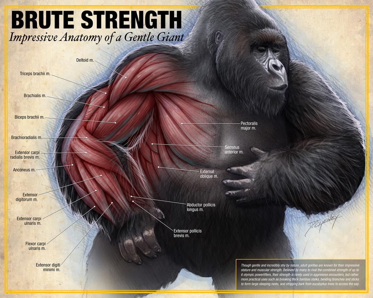 Brute Strength - Gorilla Anatomy