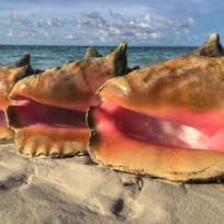 Conch Bahamas.jpg