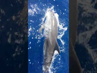 Dolphins swimming with catamaran