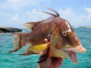 Hogfish Spearfishing | Bahamas