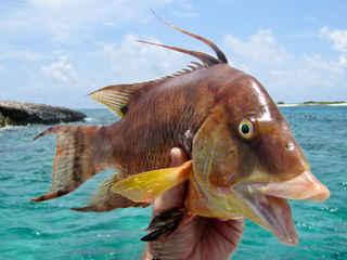 Hogfish Spearfishing   Bahamas