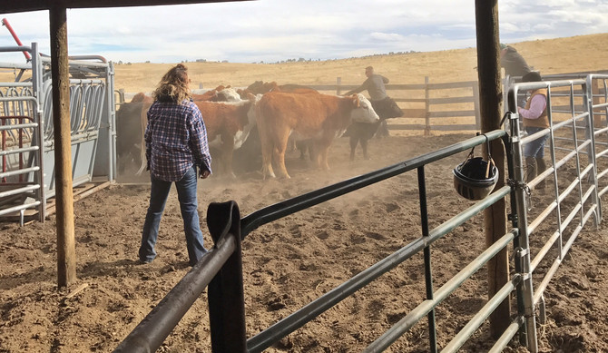 Moving The Heifers