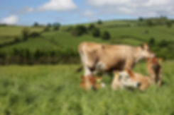 Dairy cows and calves grazing in a field