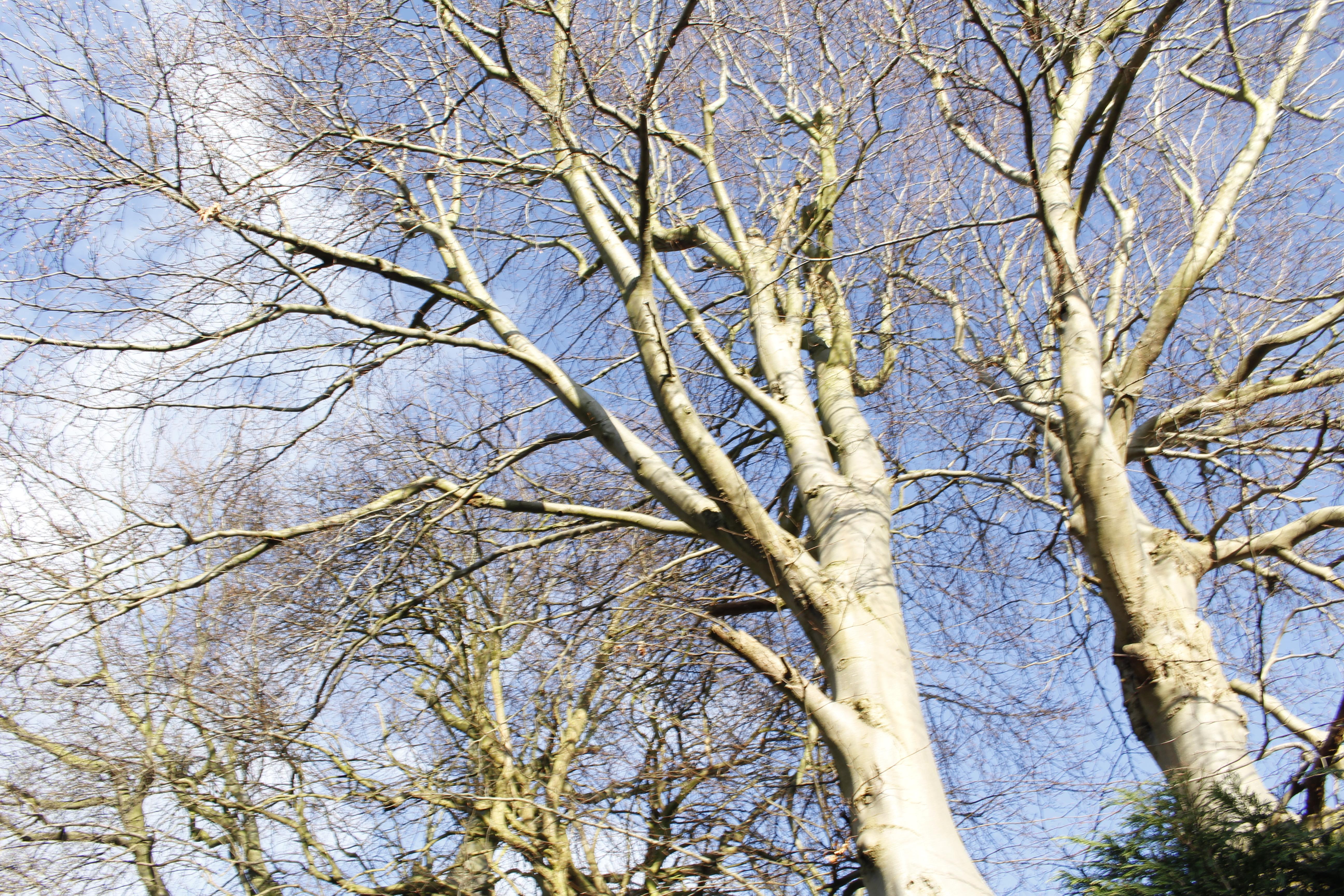 bare Beech trees.jpg