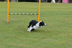 Zest Border Collie National 2017