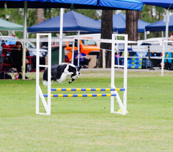 Border Collie National 2017