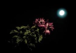 ROSE LUNE moon flower