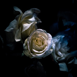 ROSE, white, flower, fleur