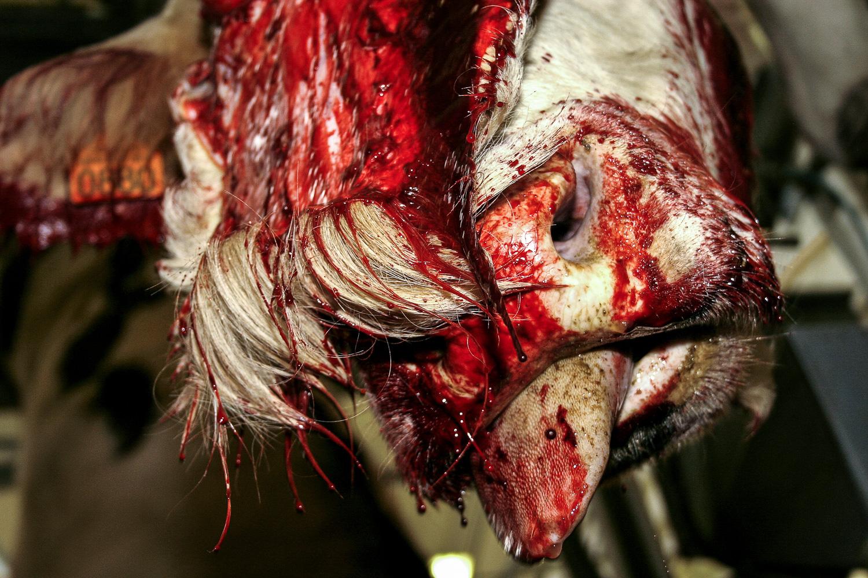 abattoir, slaughter, cow, blood