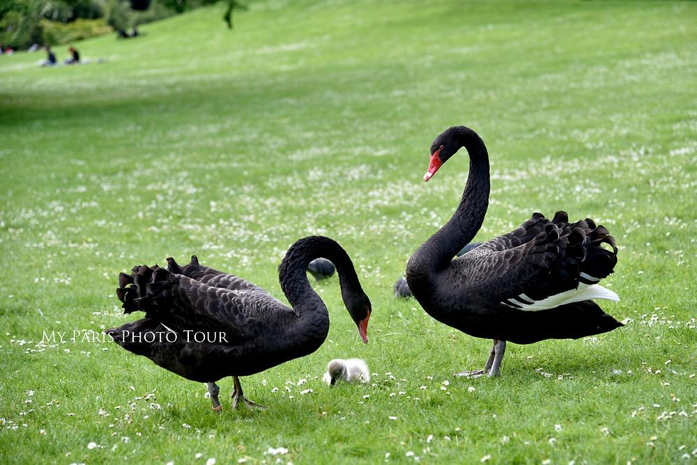 foto cisnes negros parque Montsouris París