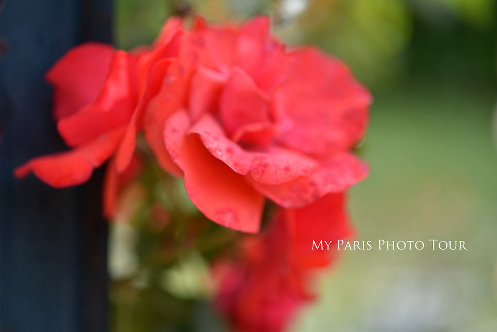 rose jardin des plantes paris