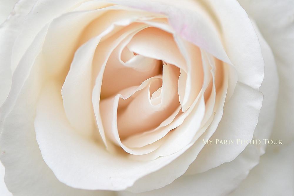 fotografia rosa jardin de plantes