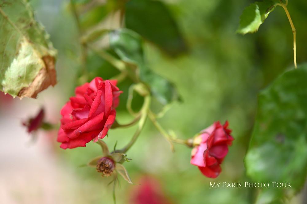 rosas jardin des plantes paris