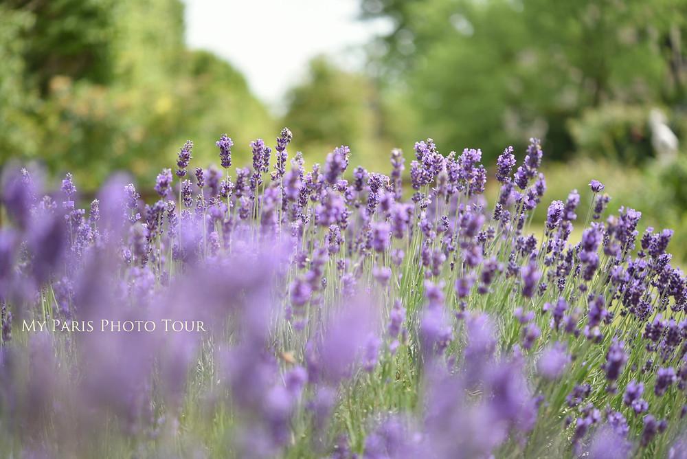 lavande jardin des plantes paris