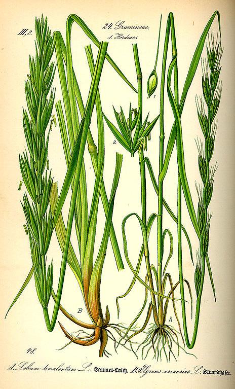 Darnell was a common weed of wheat cultivation. The image is a comparison of the weed and the wheat. Lolium temulentum: Original book source: Prof. Dr. Otto Wilhelm Thomé Flora von Deutschland, Österreich und der Schweiz 1885, Gera, Germany. Public Domai