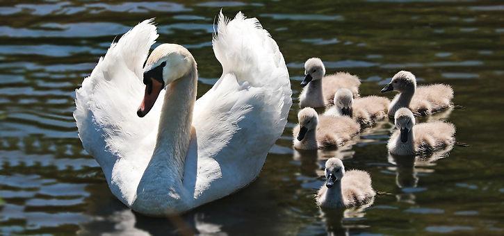 swan-2494925_1920 (1).jpg