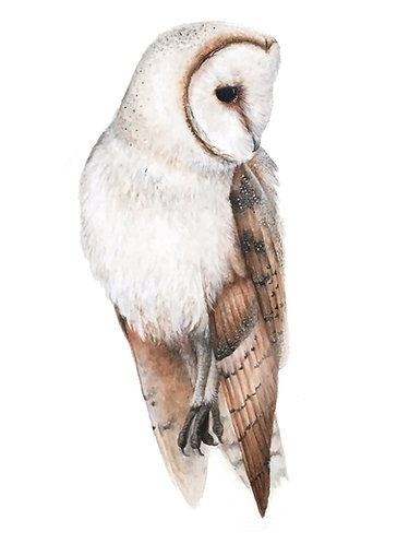 Barn Owl - Original