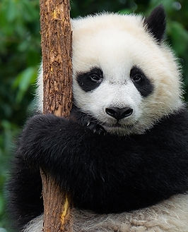 1574258548_panda.jpg