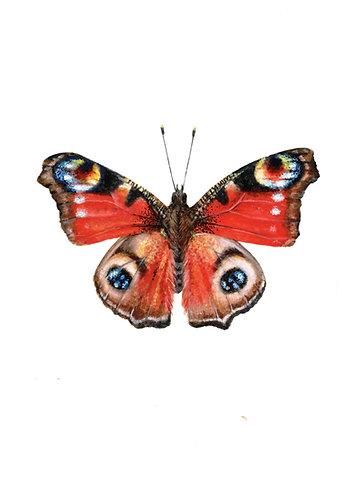 Butterfly (Peacock)