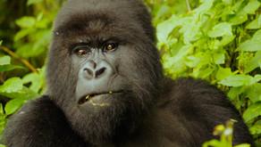 The King Kong Encounters in Volcanoes National Park, Rwanda 🇷🇼