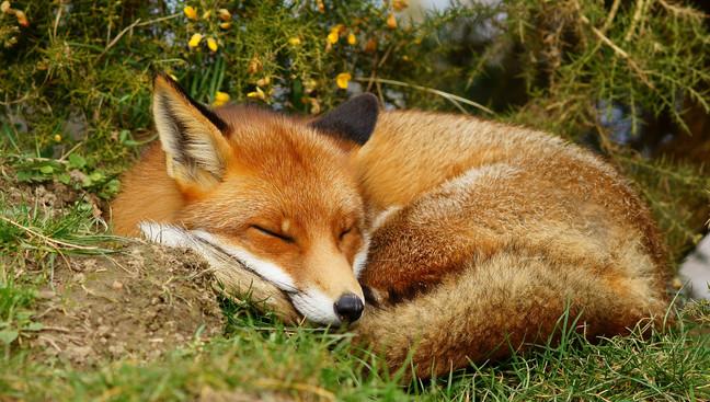 No to Fox hunting - keep the ban