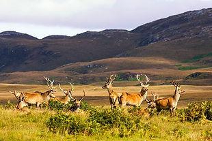 island-of-islay-scotland-male-deer-john-