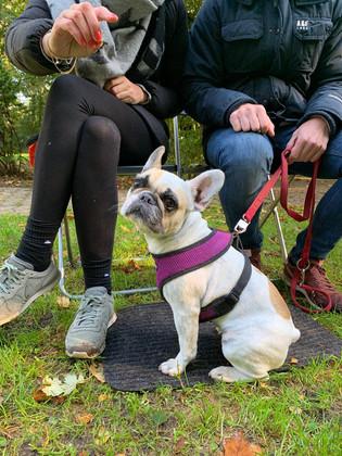 Französische_Bulldogge_Hundeschule.jpg
