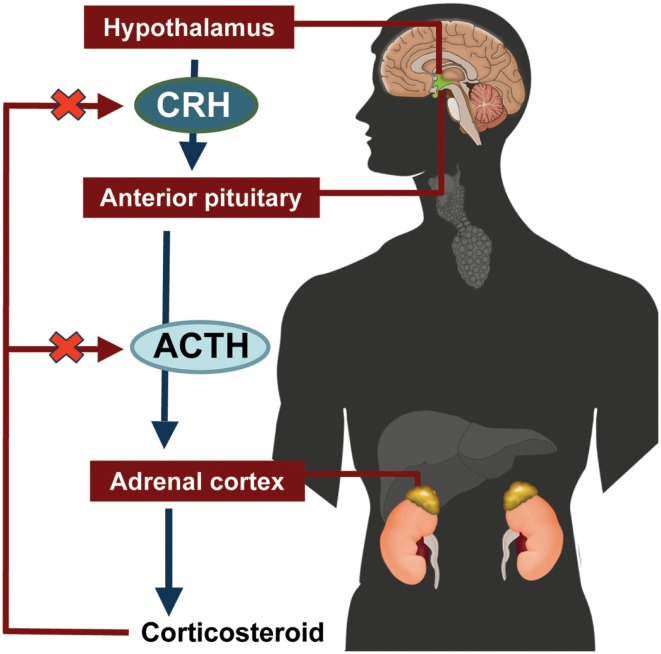 How anxiety affects the body, adrenal glands and lymbic system