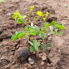 Little Acacia Seedballs kenya new growth ----.jpg