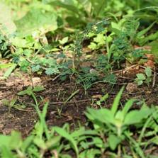 Little Acacia Seedballs kenya -- new growth -----.jpg
