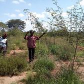 Assisted FMNR demonstration site in Matuu, Machakos County - Seedballs Kenya 4--.jpg