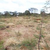 Assisted FMNR demonstration site in Matuu, Machakos County - Seedballs Kenya Beginning   N