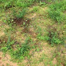 Little Acacia Seedballs Kenya