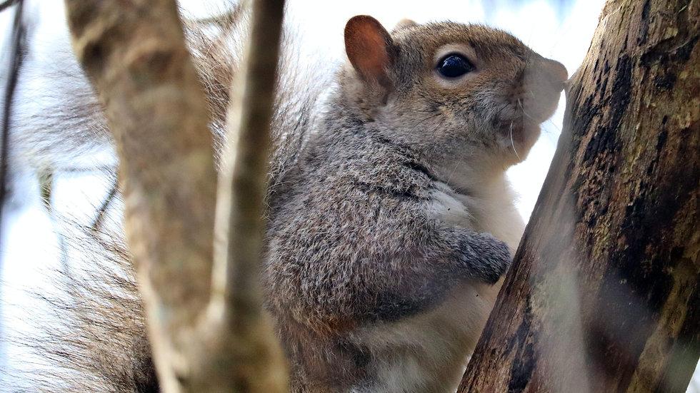 Blank Card - Wildlife/Nature Print - Squirrel