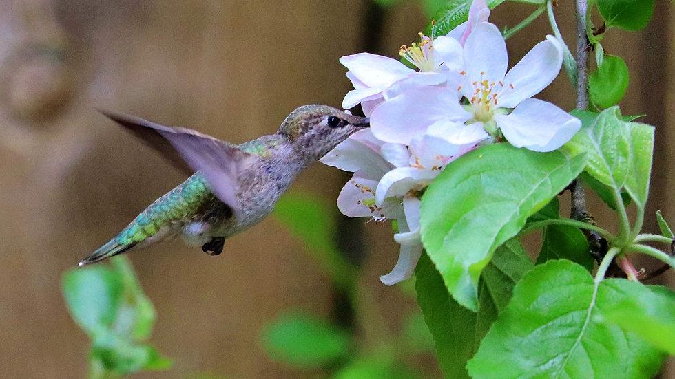 Blank Card - Wildlife/Nature Print - Hummingbird3