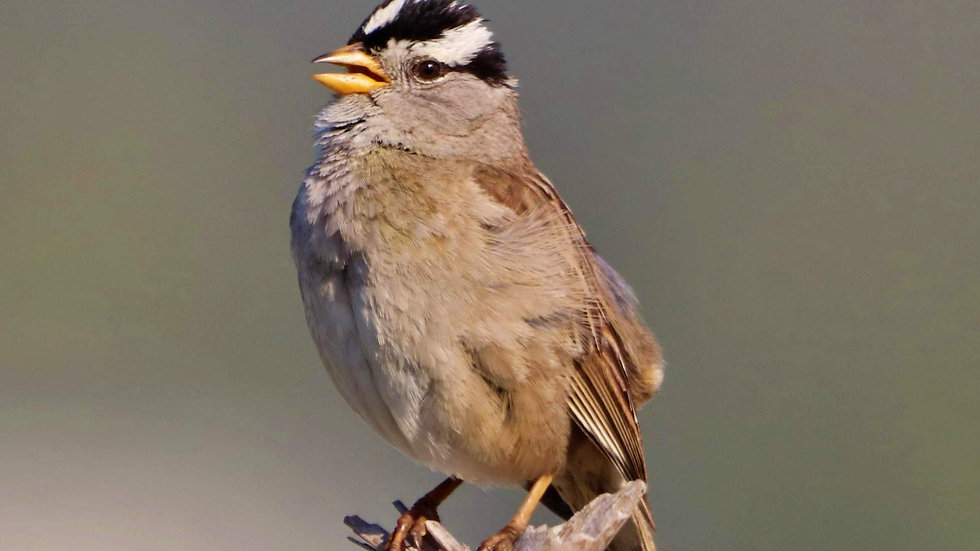 Blank Card - Wildlife/Nature Print - White Crowned Sparrow
