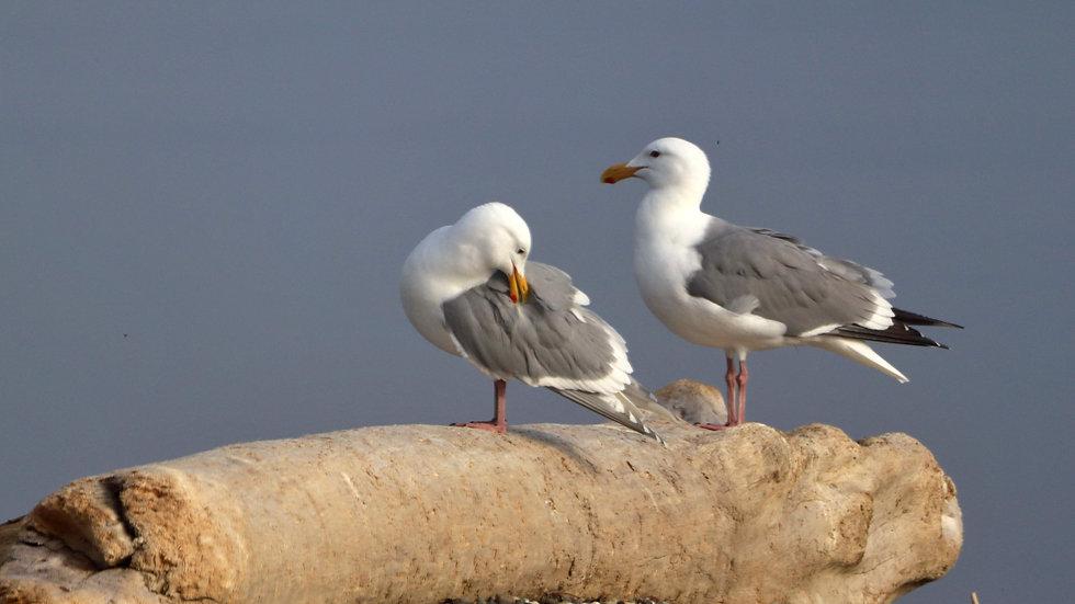Blank Card - Wildlife/Nature Print - Seagulls
