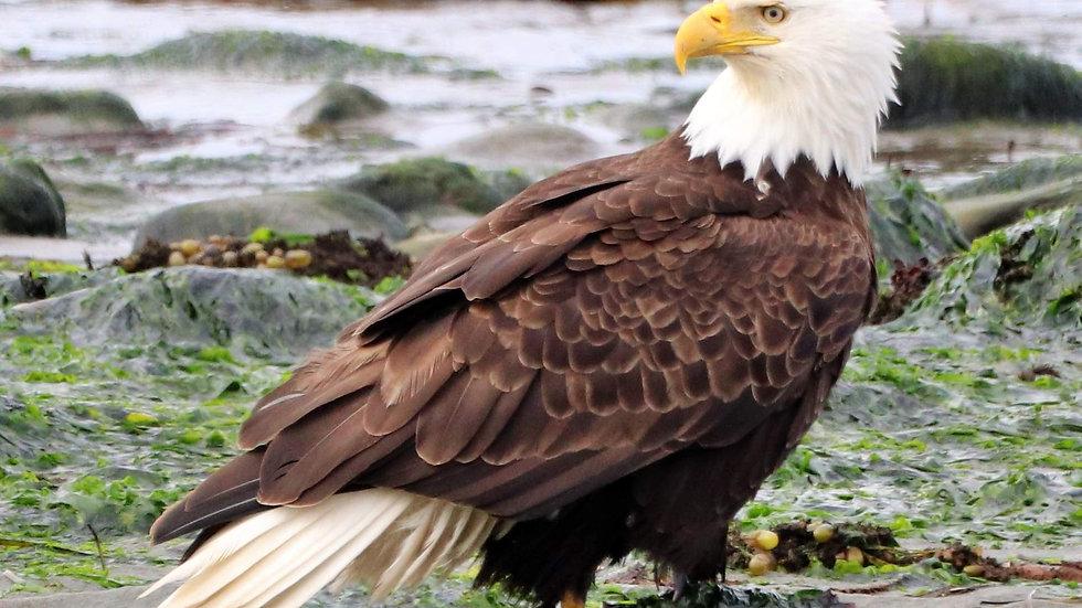 Blank Card - Wildlife/Nature Print - Bald Eagle2